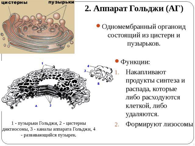 2. Аппарат Гольджи (АГ) Одномембранный органоид состоящий из цистерн и пузырь...