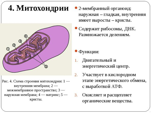4. Митохондрии 2-мембранный органоид: наружная – гладкая, внутренняя имеет вы...