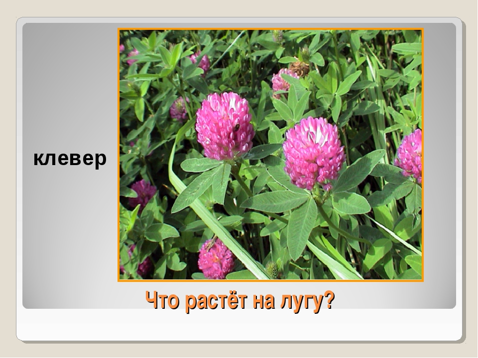 Что растёт на лугу? клевер