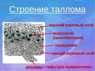 Строение таллома верхний корковый слой нижний корковый слой сердцевина водоро
