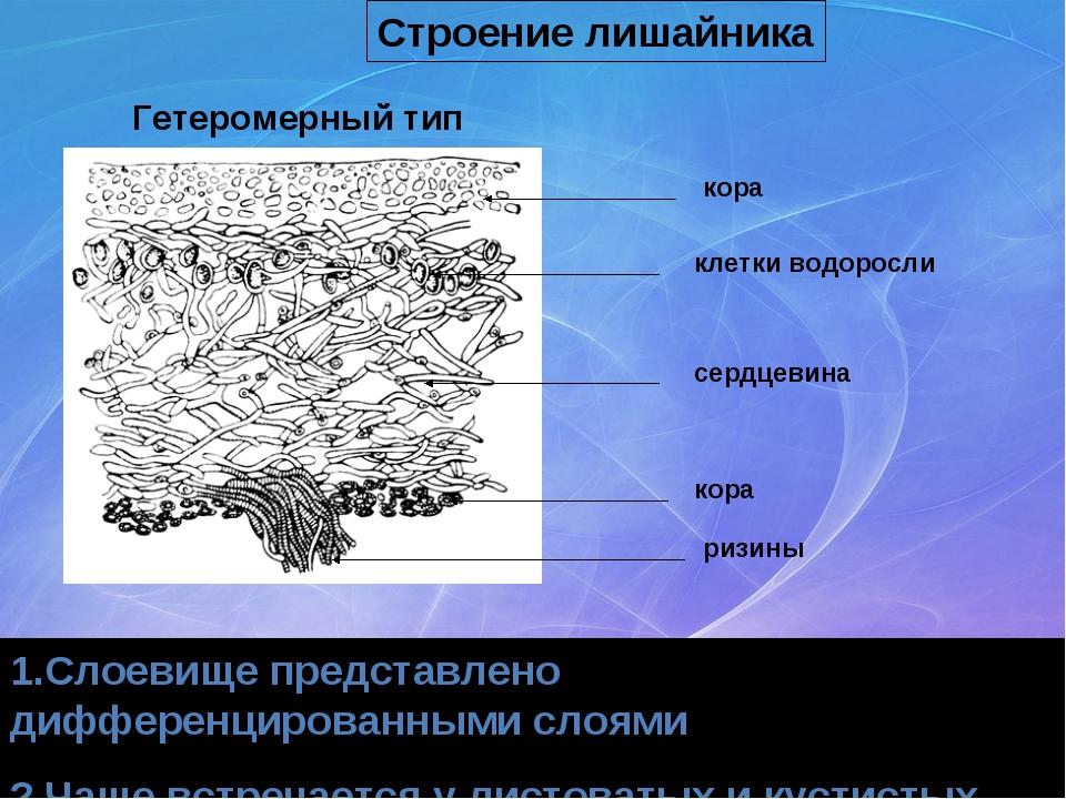 кора клетки водоросли сердцевина кора ризины 1.Слоевище представлено дифферен...