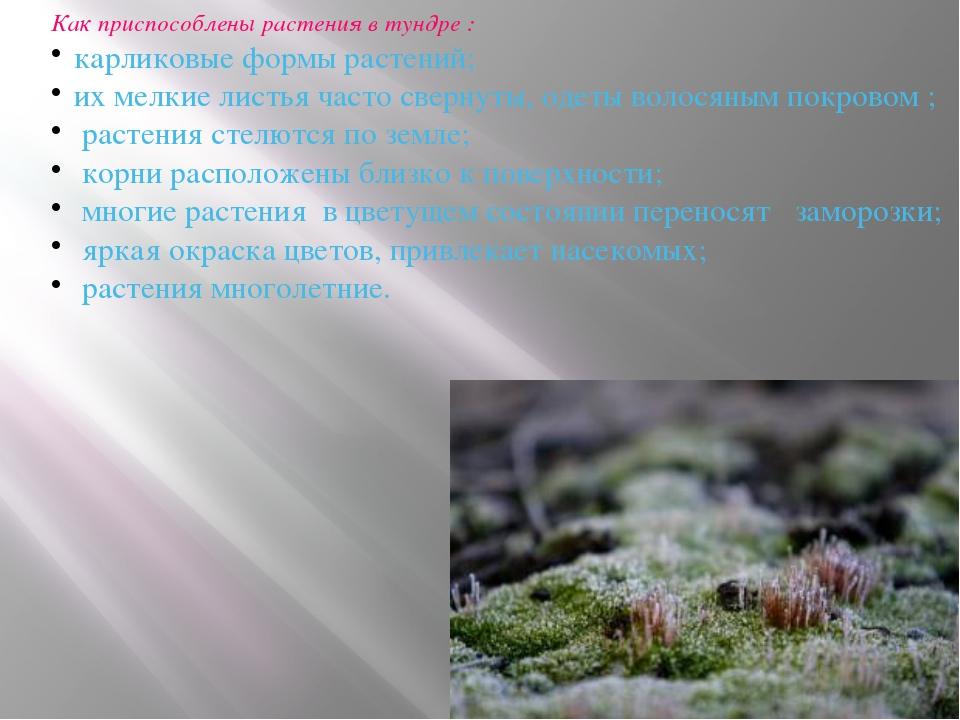 Как приспособлены растения в тундре : карликовые формы растений; их мелкие ли...
