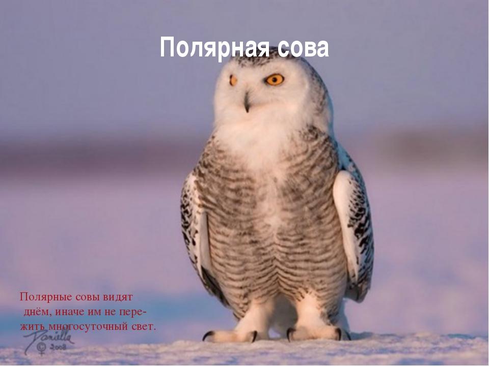 Полярная сова Полярные совы видят днём, иначе им не пере- жить многосуточный...