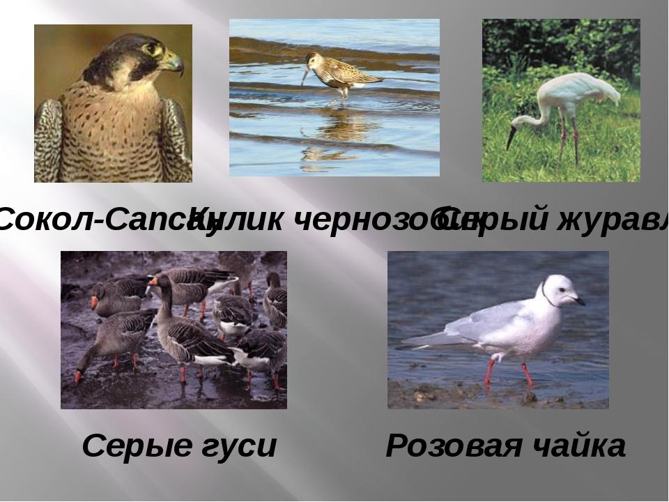 Серые гуси Розовая чайка Серый журавль Кулик чернозобик Сокол-Сапсан