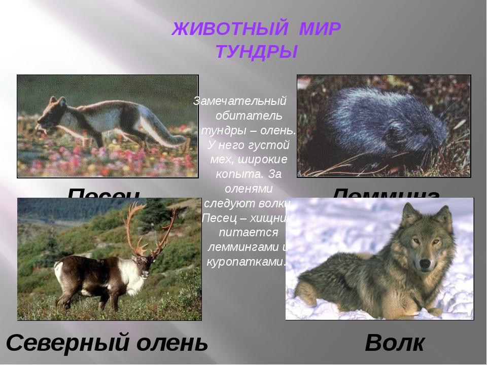 ЖИВОТНЫЙ МИР ТУНДРЫ Песец Лемминг Северный олень Волк Замечательный обитатель...