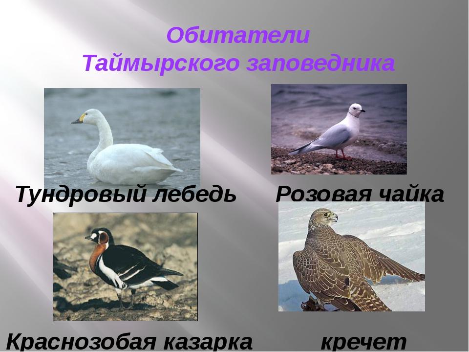 Обитатели Таймырского заповедника кречет Розовая чайка Краснозобая казарка Ту...