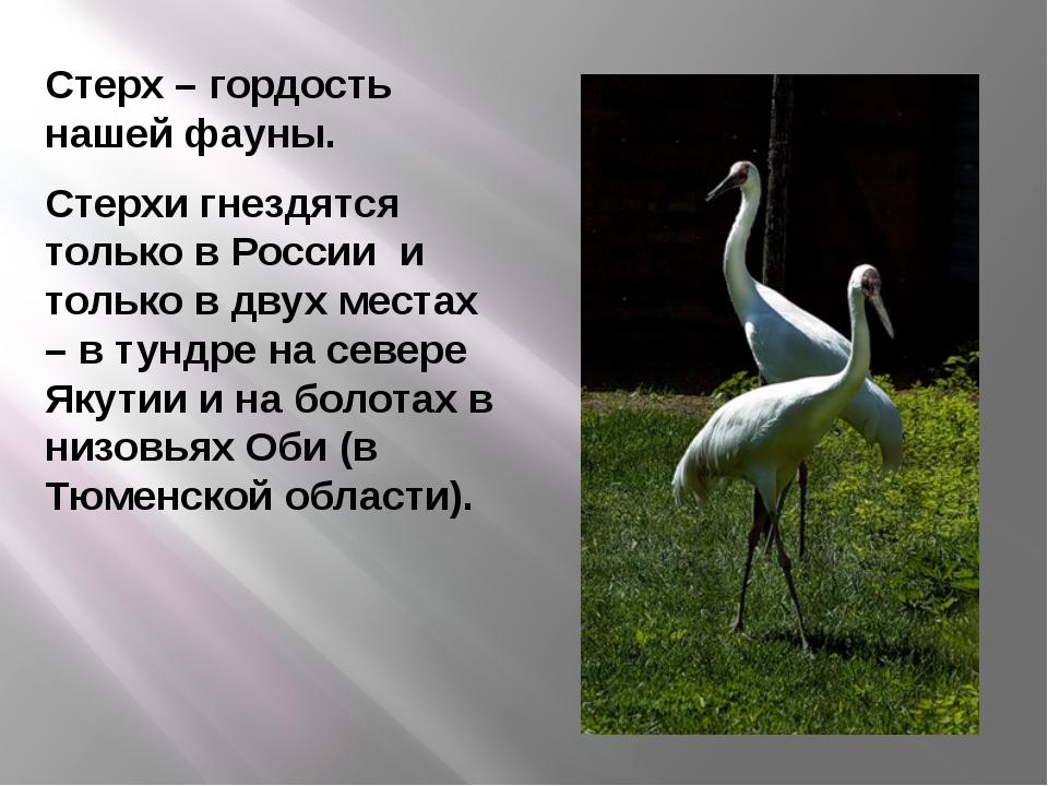 Стерх – гордость нашей фауны. Стерхи гнездятся только в России и только в дву...