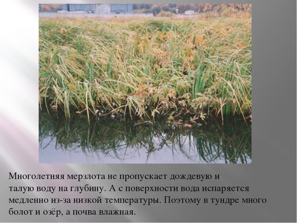 Многолетняя мерзлота не пропускает дождевую и талую воду на глубину. А с пове...