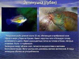 Зеленушка (губан) Некрупная рыба длиной около 22 см, обитающая в прибрежной з