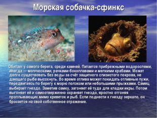 Морская собачка-сфинкс Обитает у самого берега, среди камней. Питается прибре