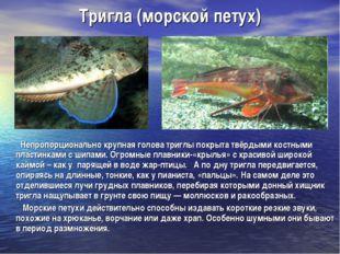 Тригла (морской петух) Непропорционально крупная голова триглы покрыта твёрды