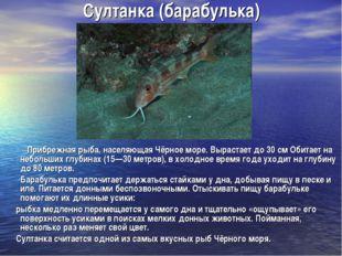 Султанка (барабулька) Прибрежная рыба, населяющая Чёрное море. Вырастает до 3