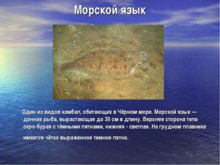 Морской язык Один из видов камбал, обитающих в Чёрном море. Морской язык — до