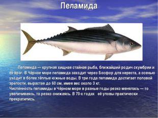 Пеламида Пеламида — крупная хищная стайная рыба, ближайший родич скумбрии и е