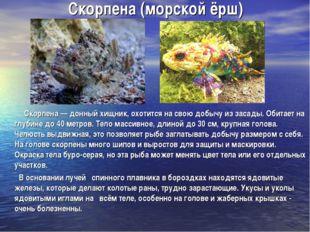 Скорпена (морской ёрш) Скорпена — донный хищник, охотится на свою добычу из з