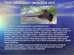 Скат-хвостокол (морской кот) Скаты — хрящевые рыбы, родственники акул. Скат-х