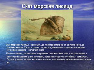 Скат морская лисица Скат морская лисица- крупный, до полутора метров от конч