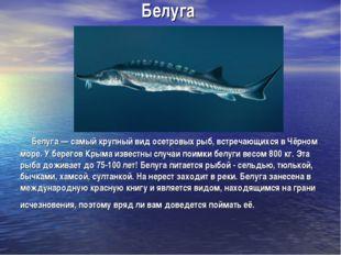 Белуга Белуга — самый крупный вид осетровых рыб, встречающихся в Чёрном море.