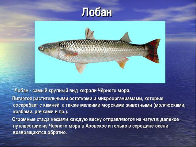 Лобан Лобан - самый крупный вид кефали Чёрного моря. Питается растительными о...
