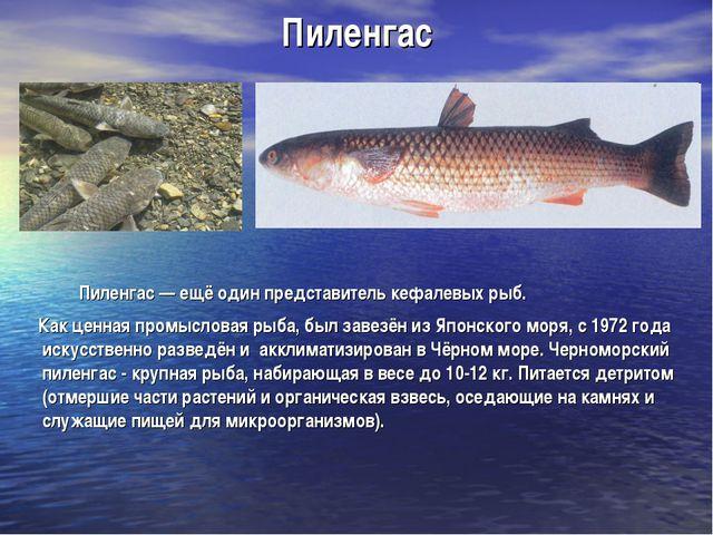 Пиленгас Пиленгас — ещё один представитель кефалевых рыб. Как ценная промысло...