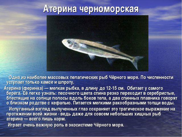 Атерина черноморская Одна из наиболее массовых пелагических рыб Чёрного моря....
