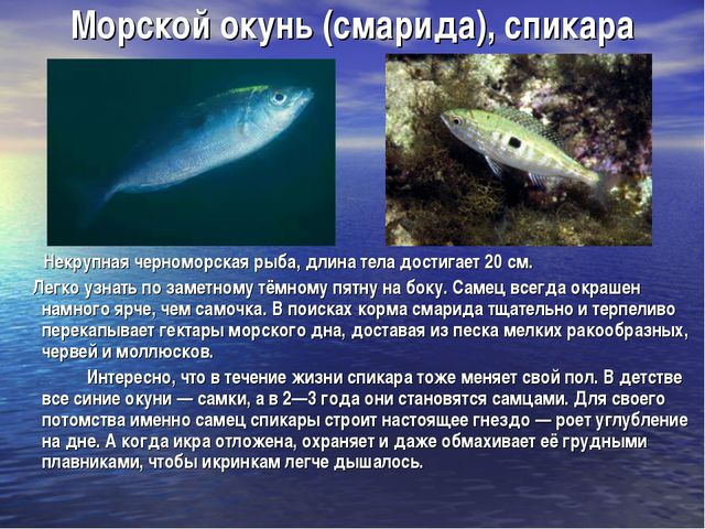 Морской окунь (смарида), спикара Некрупная черноморская рыба, длина тела дост...