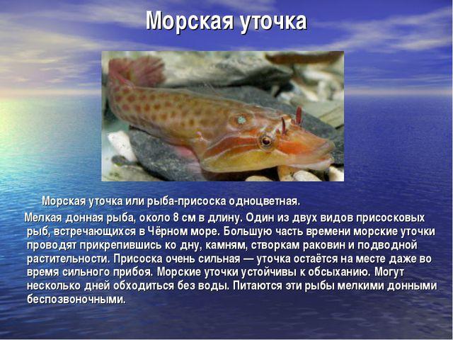 Морская уточка Морская уточка или рыба-присоска одноцветная. Мелкая донная ры...