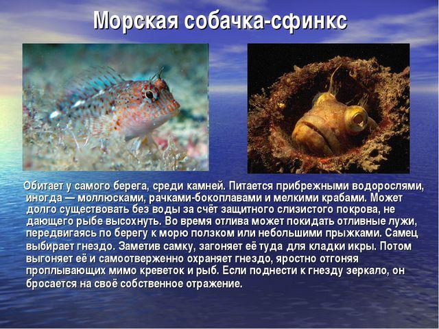 Морская собачка-сфинкс Обитает у самого берега, среди камней. Питается прибре...