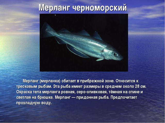 Мерланг черноморский Мерланг (мерланка) обитает в прибрежной зоне. Относится...