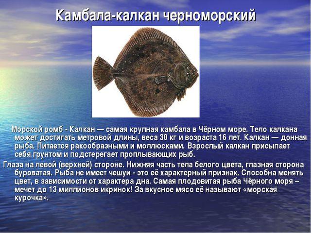 Камбала-калкан черноморский Морской ромб - Калкан — самая крупная камбала в Ч...
