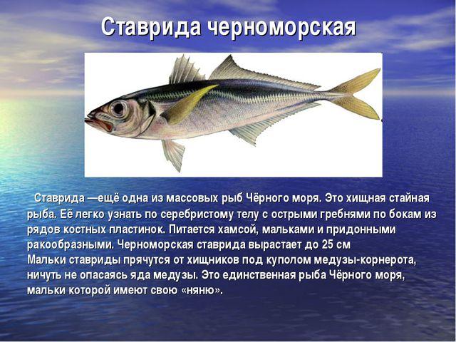 Ставрида черноморская Ставрида —ещё одна из массовых рыб Чёрного моря. Это хи...