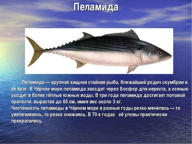 Пеламида Пеламида — крупная хищная стайная рыба, ближайший родич скумбрии и е...