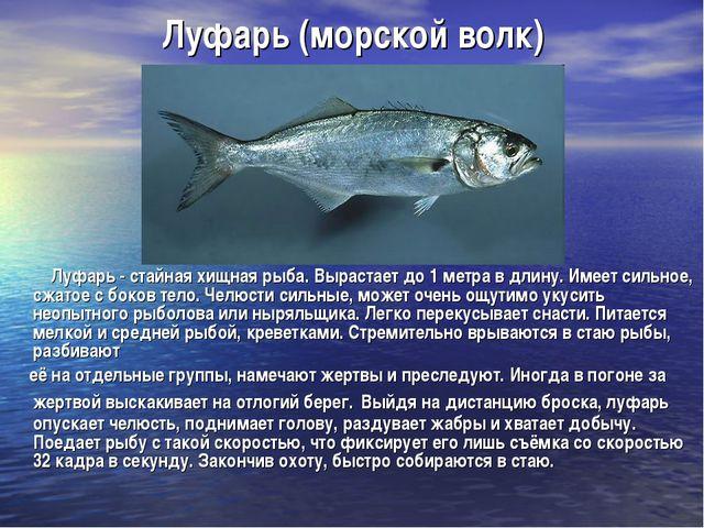 Луфарь (морской волк) Луфарь - cтайная хищная рыба. Вырастает до 1 метра в дл...