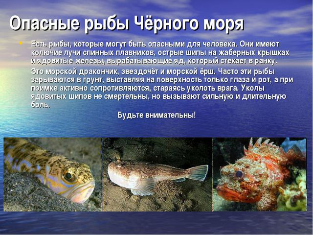 Опасные рыбы Чёрного моря Есть рыбы, которые могут быть опасными для человека...
