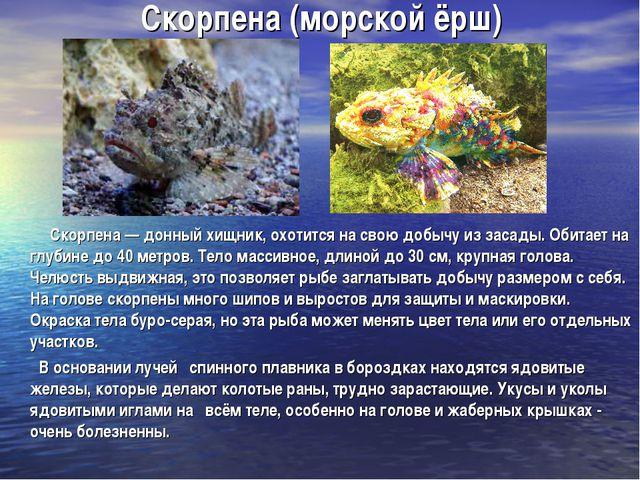 Скорпена (морской ёрш) Скорпена — донный хищник, охотится на свою добычу из з...