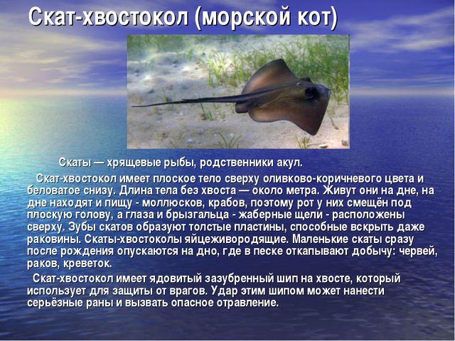 Скат-хвостокол (морской кот) Скаты — хрящевые рыбы, родственники акул. Скат-х...
