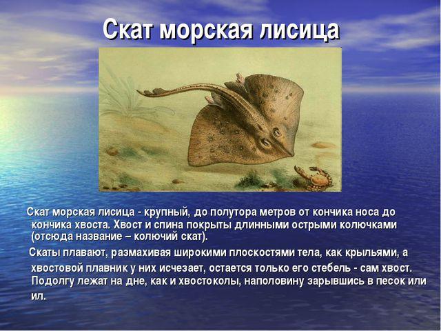 Скат морская лисица Скат морская лисица- крупный, до полутора метров от конч...