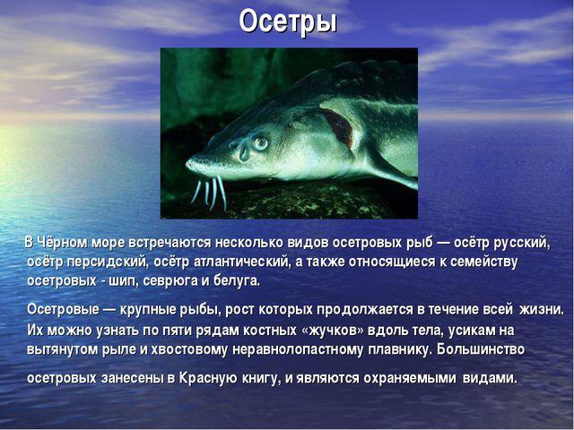 Осетры В Чёрном море встречаются несколько видов осетровых рыб — осётр русски...