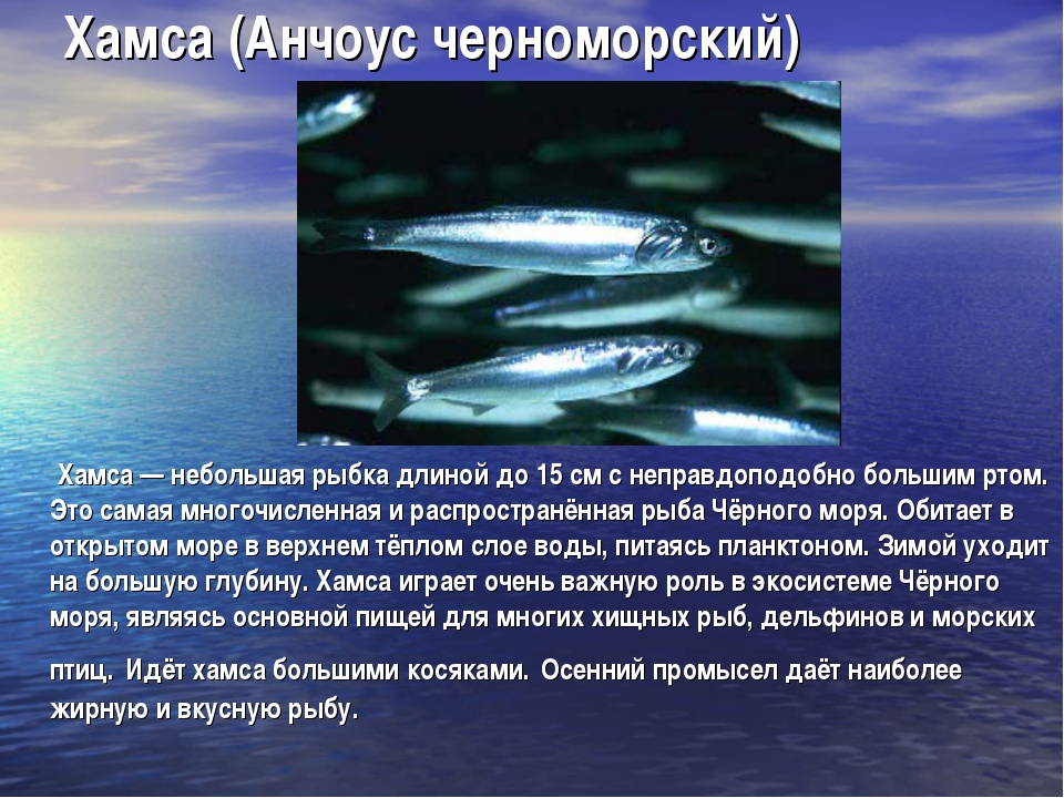 Хамса (Анчоус черноморский) Хамса — небольшая рыбка длиной до 15 см с неправд...