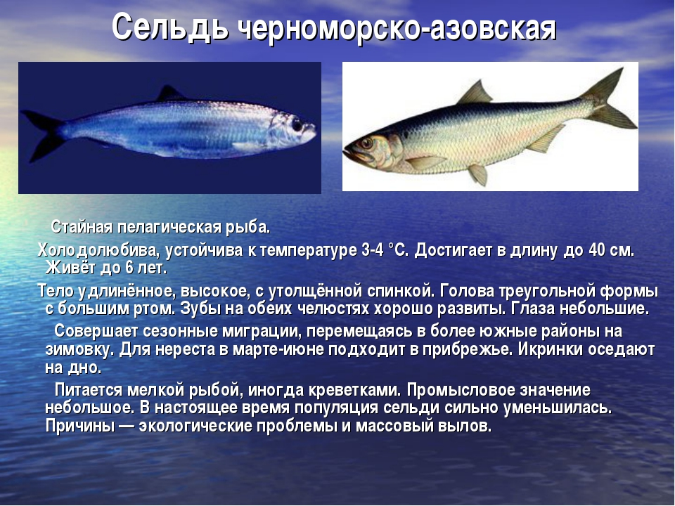Сельдь черноморско-азовская Стайная пелагическая рыба. Холодолюбива, устойчив...