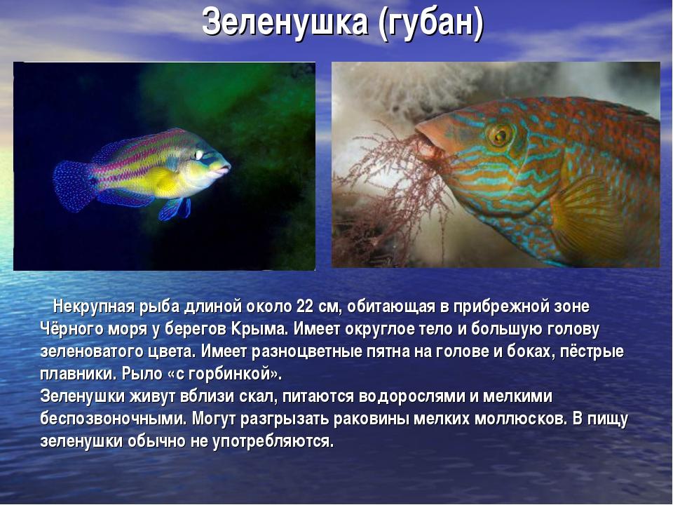 Зеленушка (губан) Некрупная рыба длиной около 22 см, обитающая в прибрежной з...