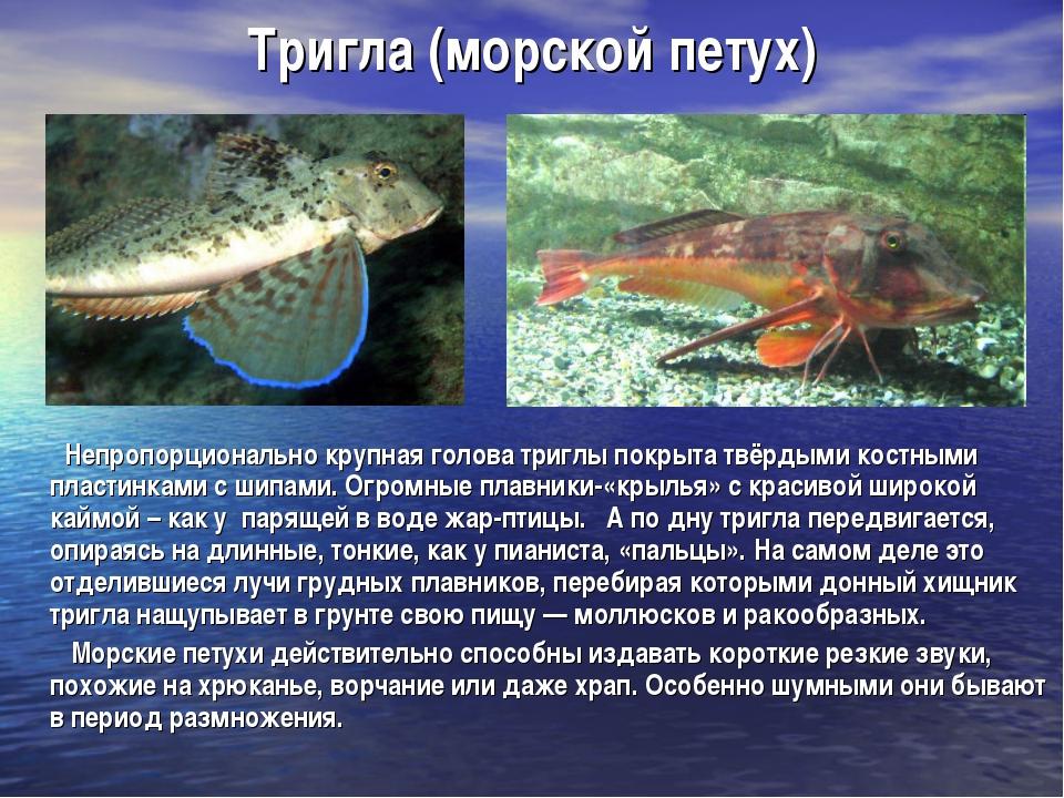 Тригла (морской петух) Непропорционально крупная голова триглы покрыта твёрды...