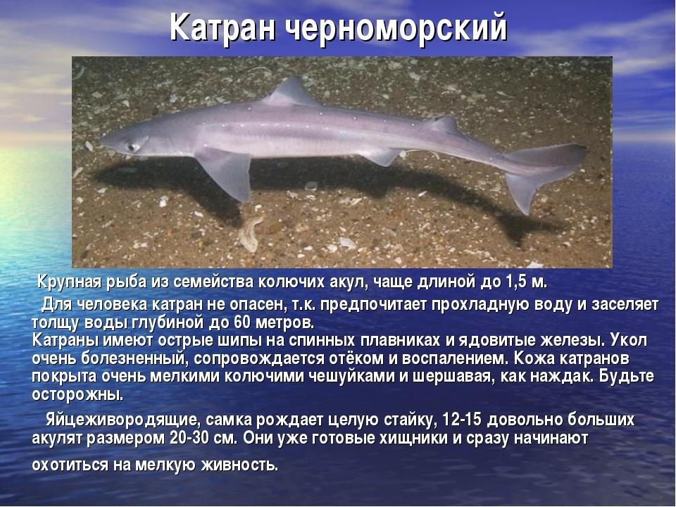 Катран черноморский Крупная рыба из семейства колючих акул, чаще длиной до 1,...