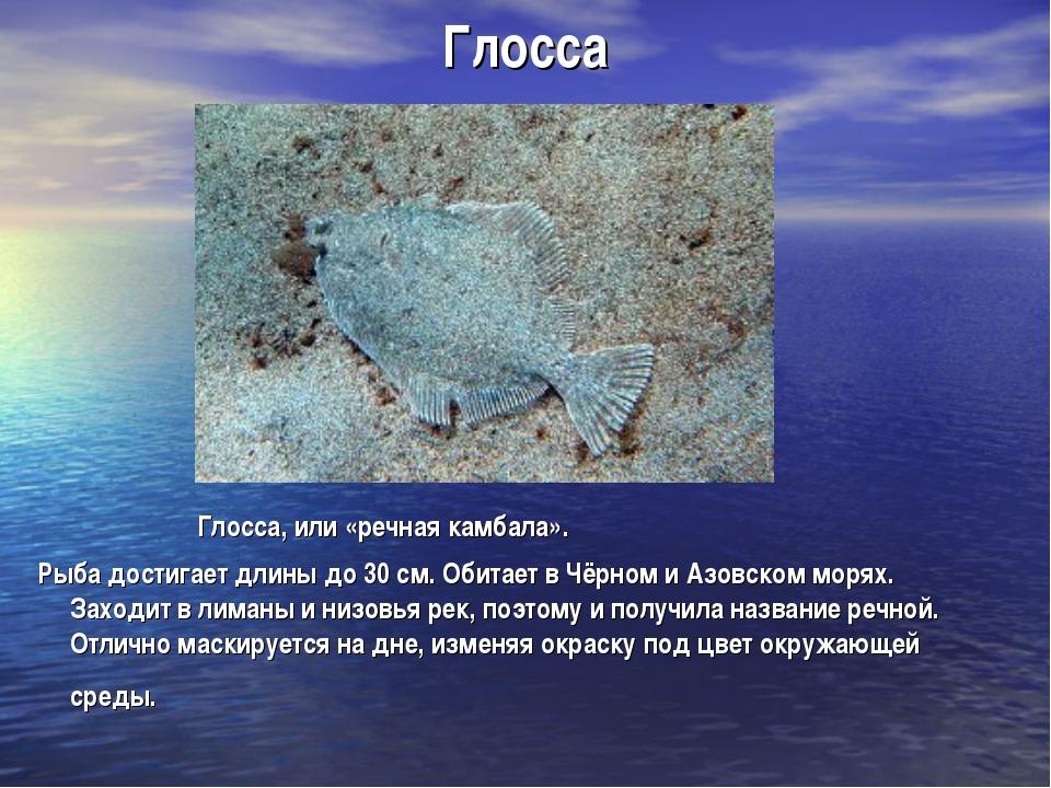 Глосса Глосса, или «речная камбала». Рыба достигает длины до 30 см. Обитает в...