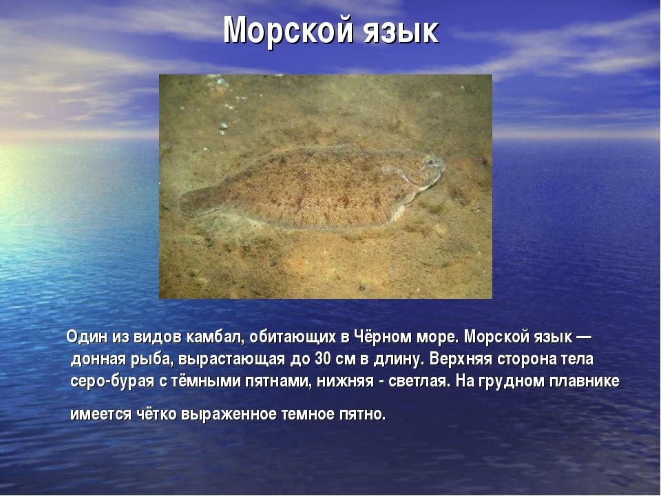 Морской язык Один из видов камбал, обитающих в Чёрном море. Морской язык — до...