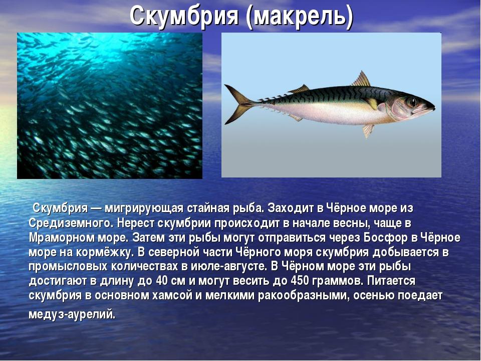 Скумбрия (макрель) Скумбрия — мигрирующая стайная рыба. Заходит в Чёрное море...