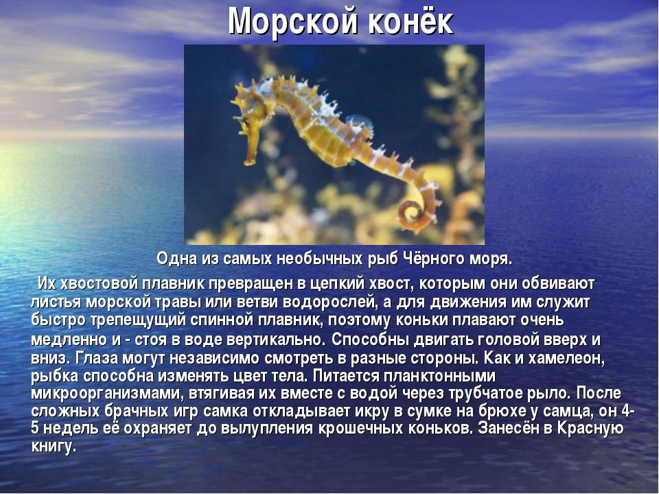 Морской конёк Одна из самых необычных рыб Чёрного моря. Их хвостовой плавник...
