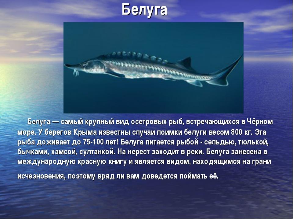 Белуга Белуга — самый крупный вид осетровых рыб, встречающихся в Чёрном море....