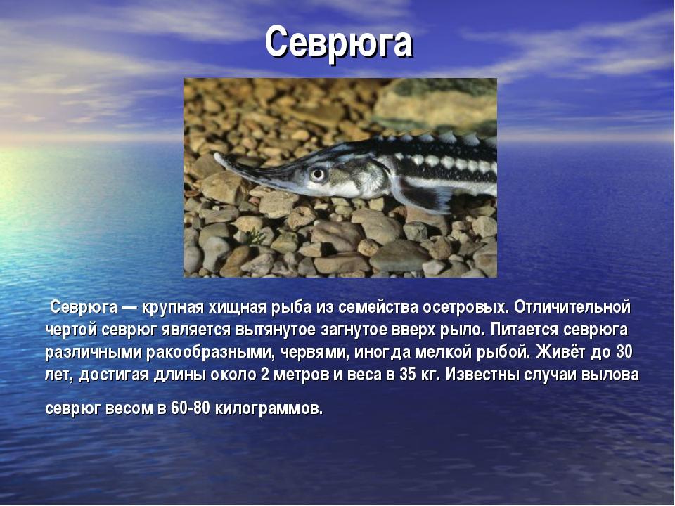 Севрюга Севрюга — крупная хищная рыба из семейства осетровых. Отличительной ч...