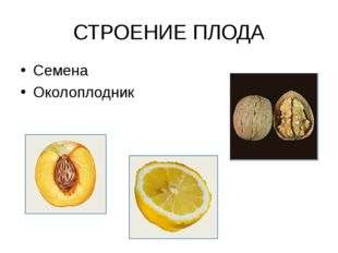 СТРОЕНИЕ ПЛОДА Семена Околоплодник